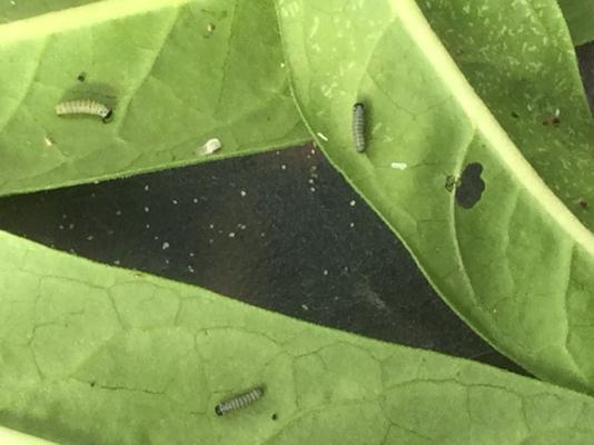 monitor larvae