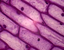 onion-cell3
